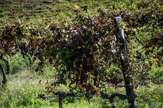 Il Corno, Grapes Part I