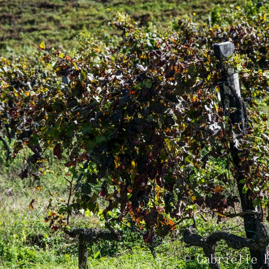 Il Corno, Grapes Part I