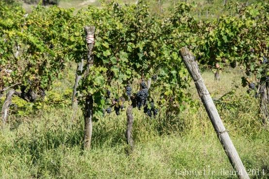 Il Corno, Grapes Part II