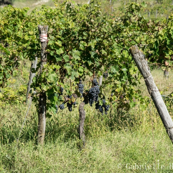 Il Corno, Grapes Part II